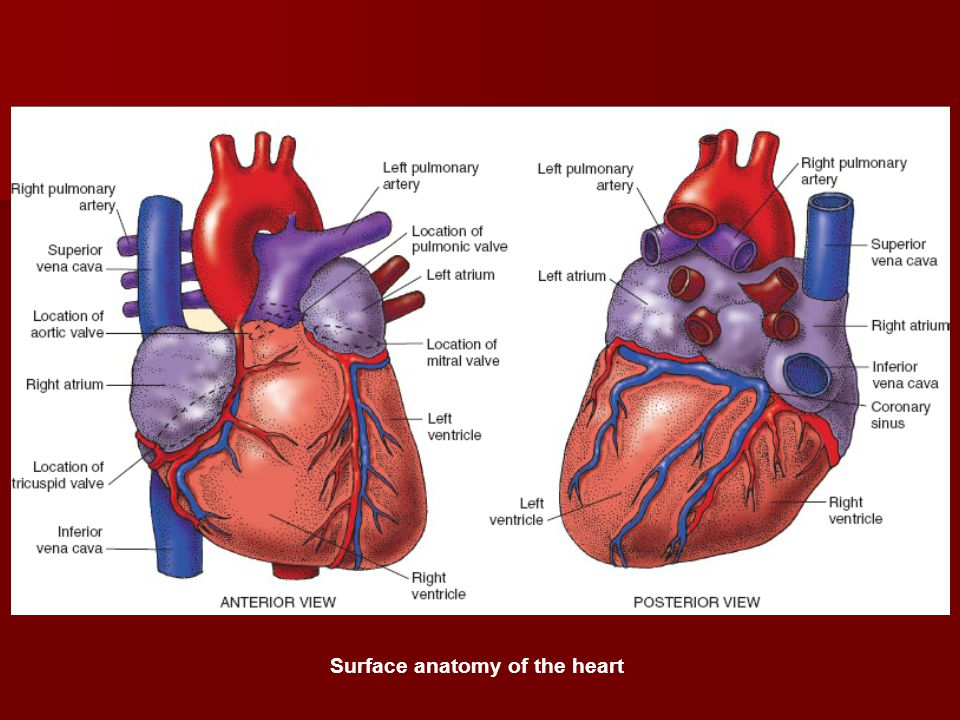 Surface anatomy of the heart