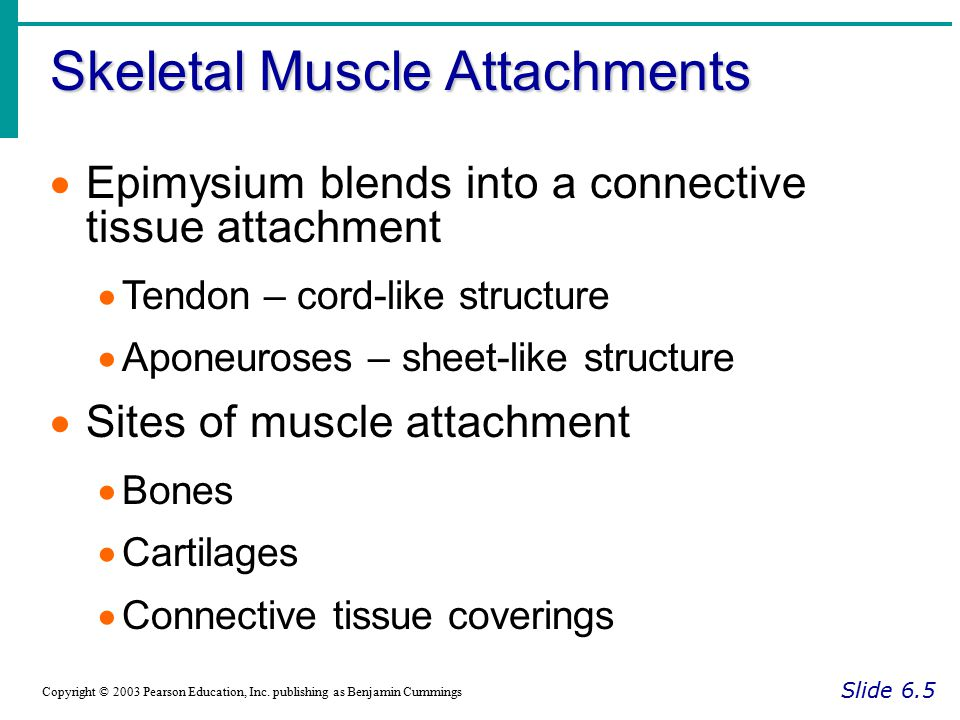 Skeletal Muscle Attachments