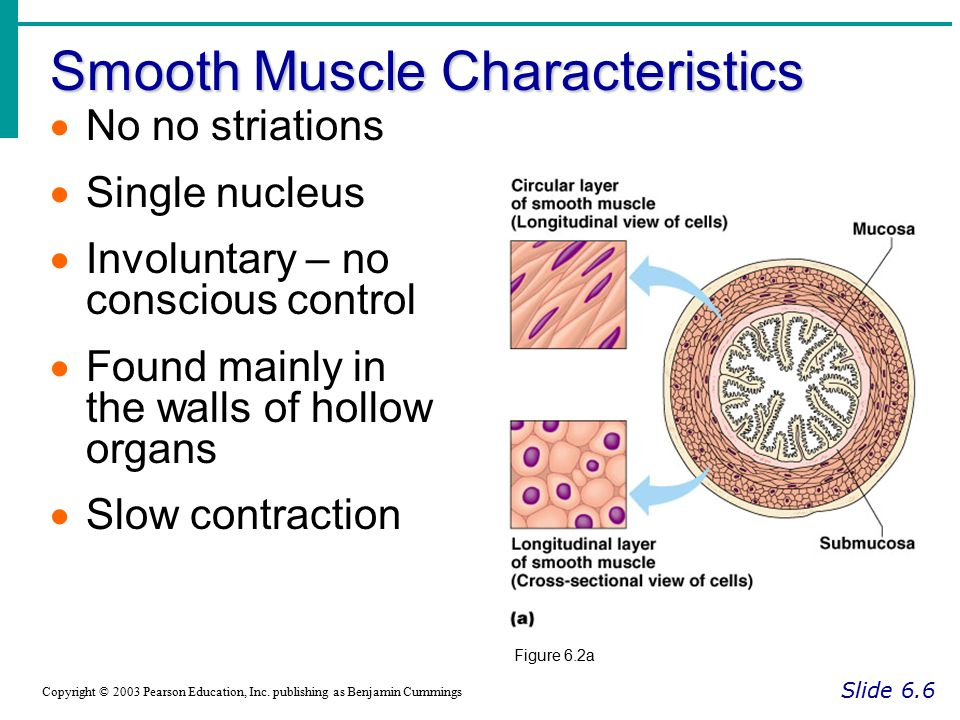 Smooth Muscle Characteristics