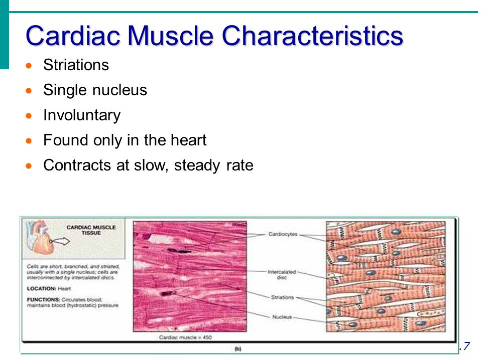 Cardiac Muscle Characteristics
