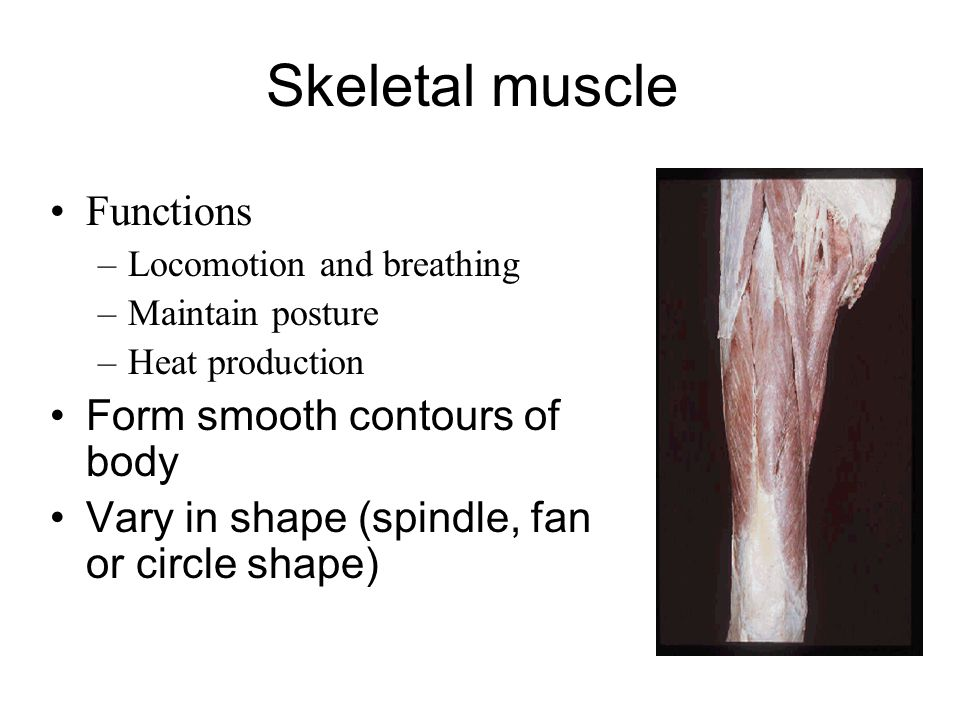 Skeletal muscle Functions Form smooth contours of body
