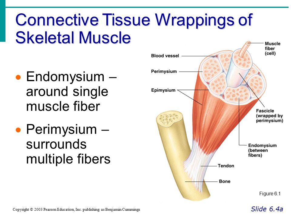 Connective Tissue Wrappings of Skeletal Muscle