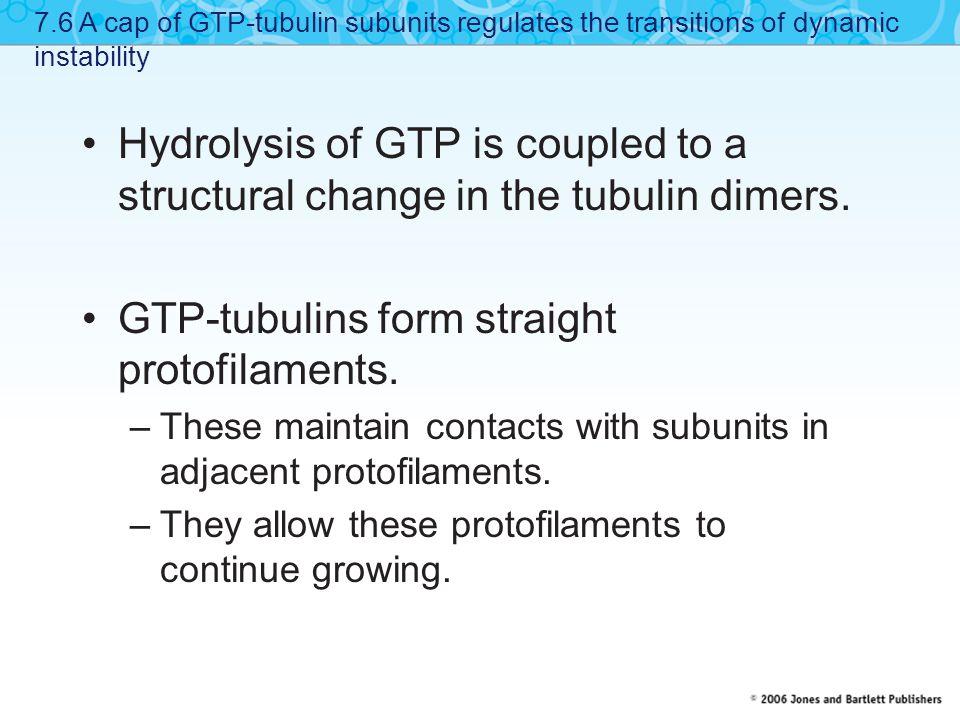 GTP-tubulins form straight protofilaments.