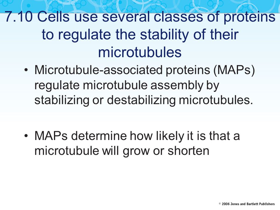 7.10 Cells use several classes of proteins to regulate the stability of their microtubules