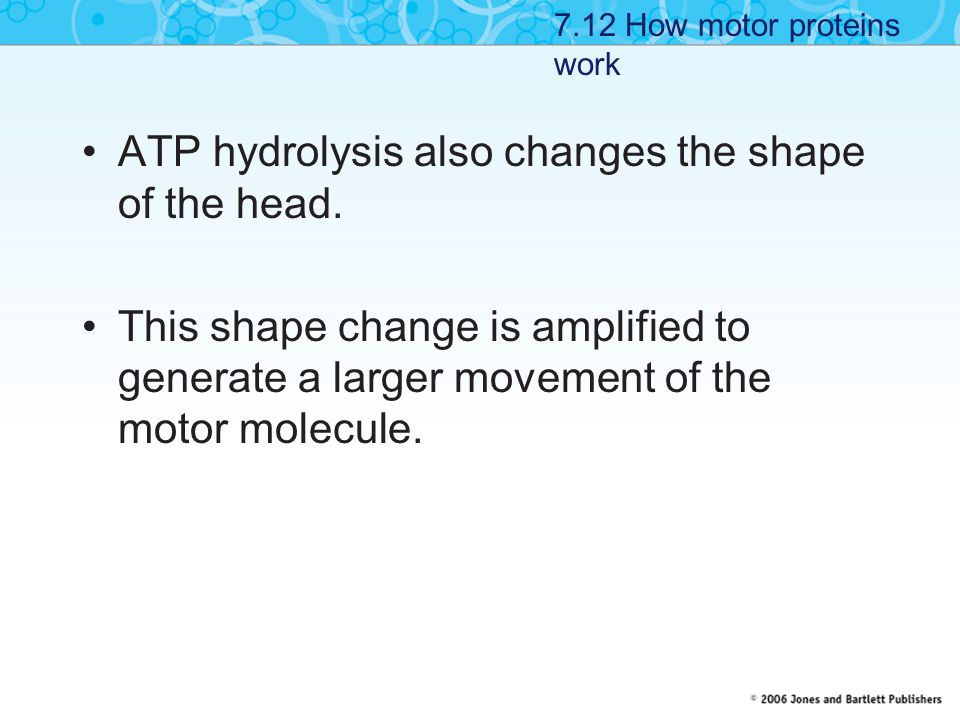 ATP hydrolysis also changes the shape of the head.