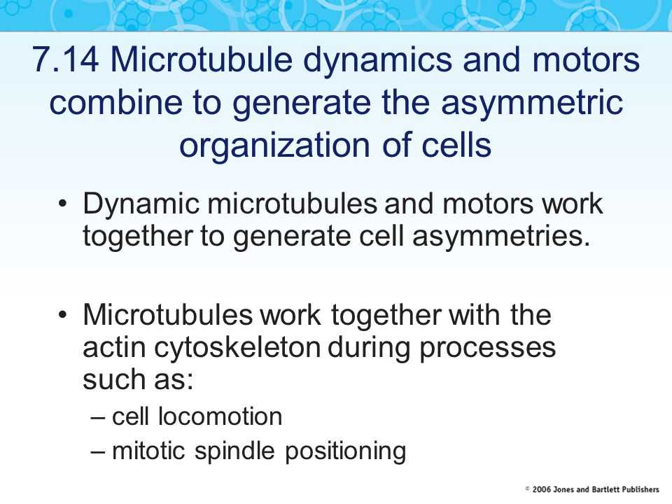 7.14 Microtubule dynamics and motors combine to generate the asymmetric organization of cells