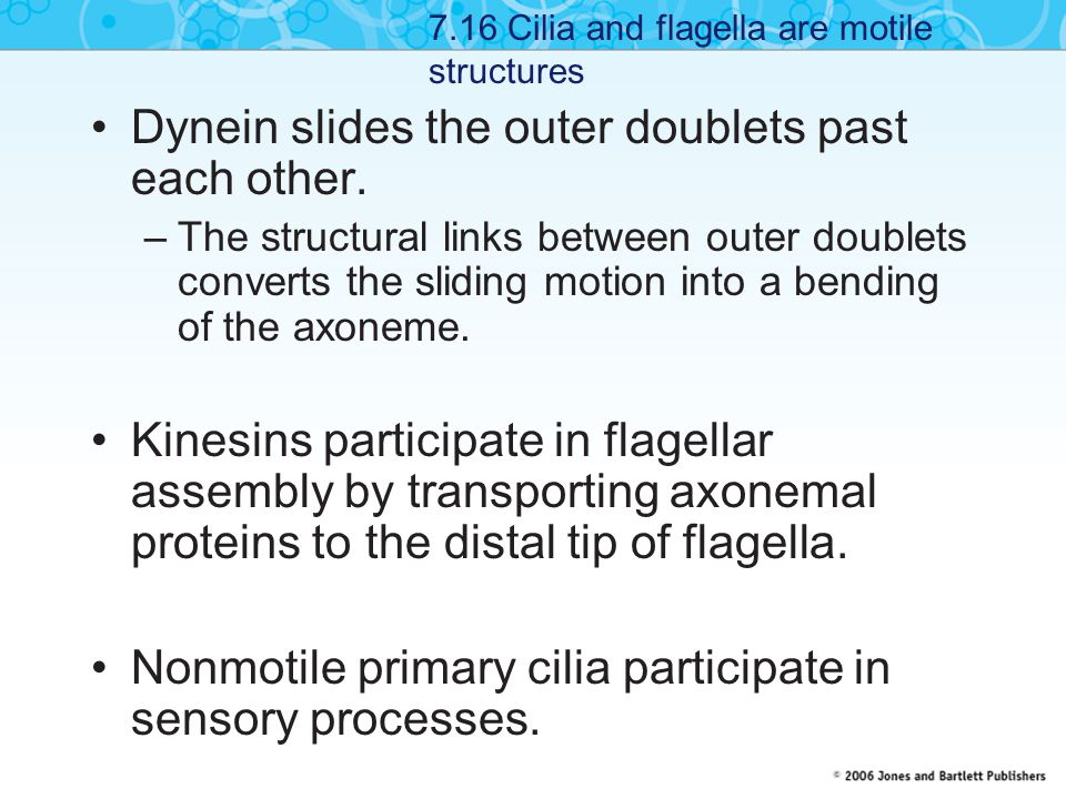 Dynein slides the outer doublets past each other.