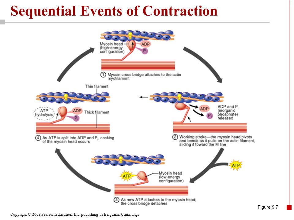 Sequential Events of Contraction