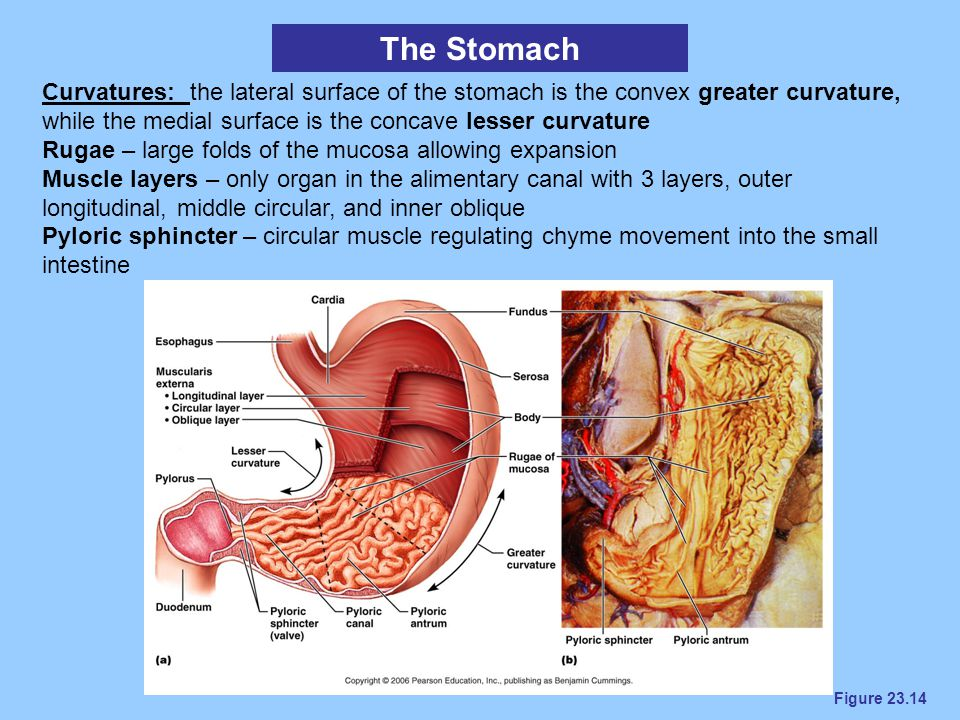 The Stomach Curvatures: the lateral surface of the stomach is the convex greater curvature, while the medial surface is the concave lesser curvature.