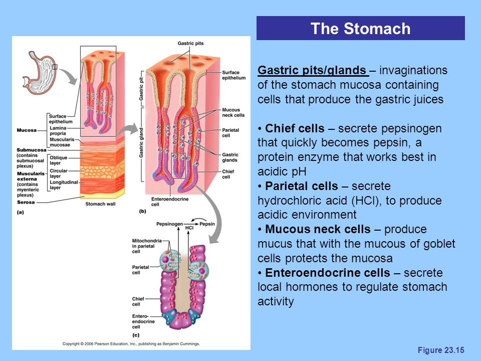 The Stomach Gastric pits/glands – invaginations of the stomach mucosa containing cells that produce the gastric juices.