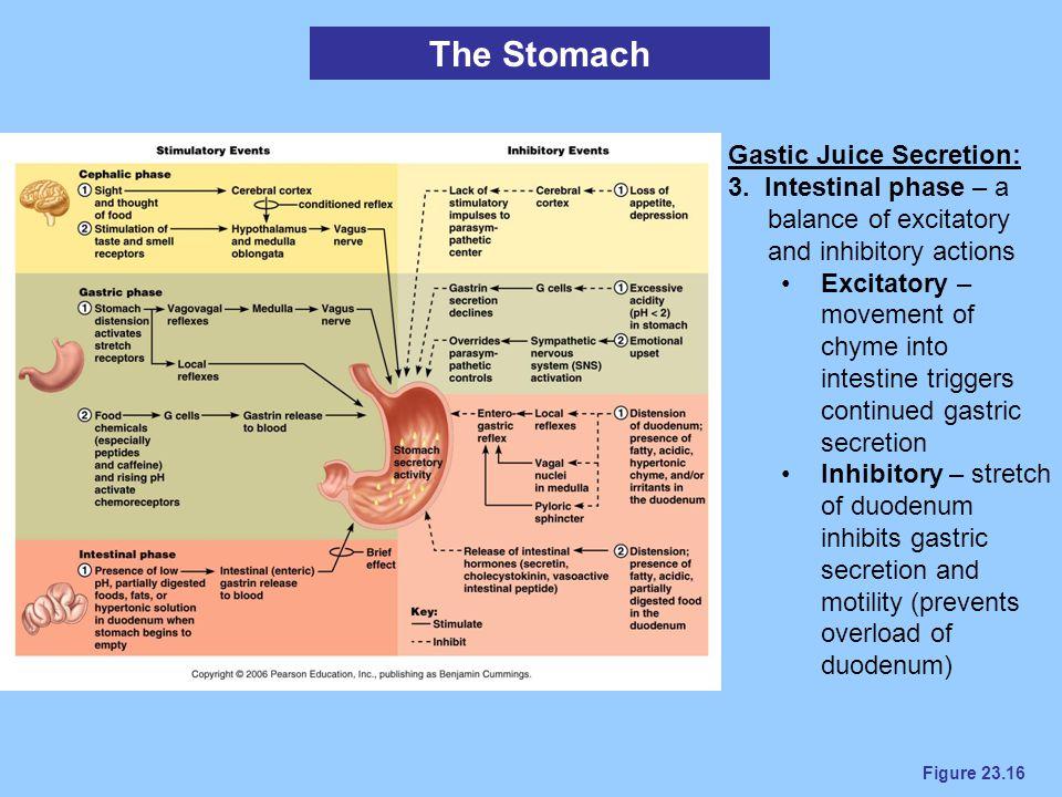 The Stomach Gastic Juice Secretion: