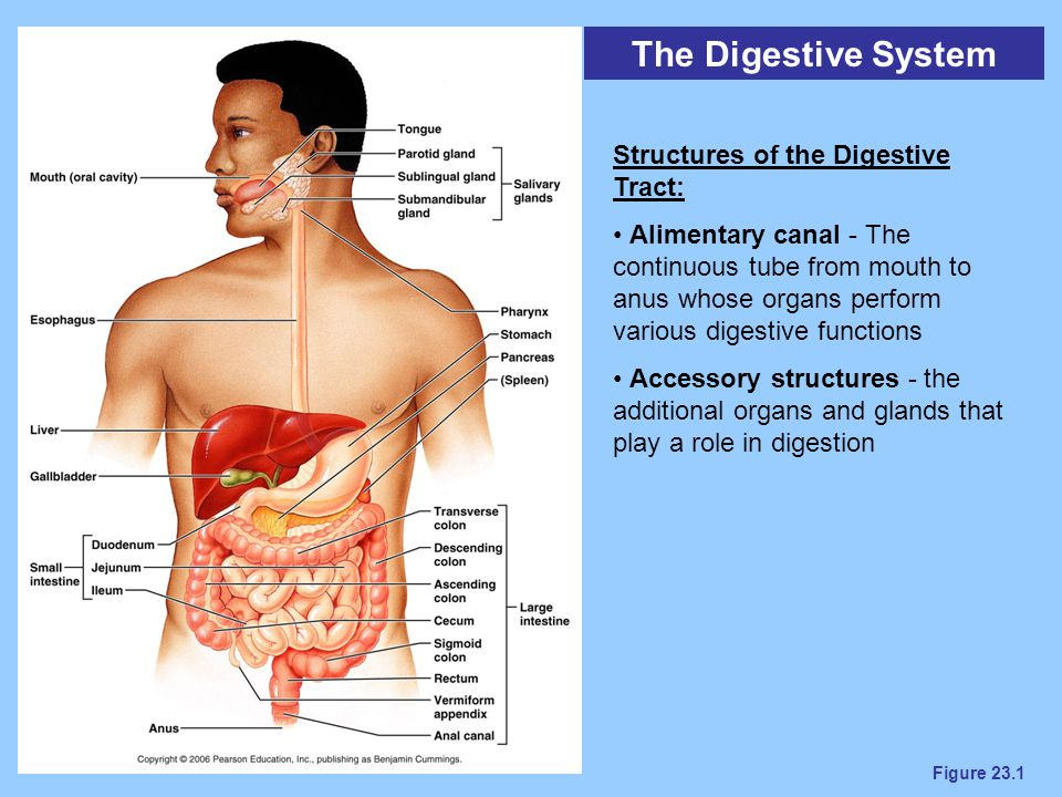 The Digestive System Structures of the Digestive Tract:
