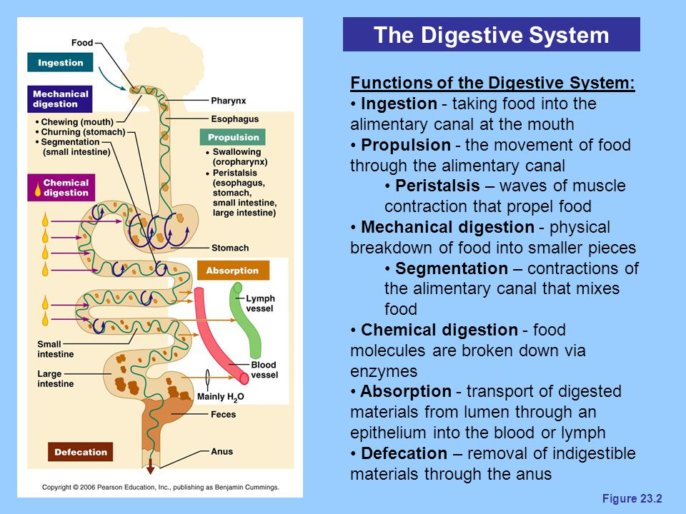 The Digestive System Functions of the Digestive System: