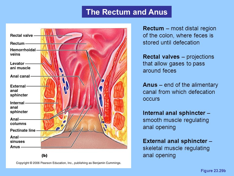 The Rectum and Anus Rectum – most distal region of the colon, where feces is stored until defecation.