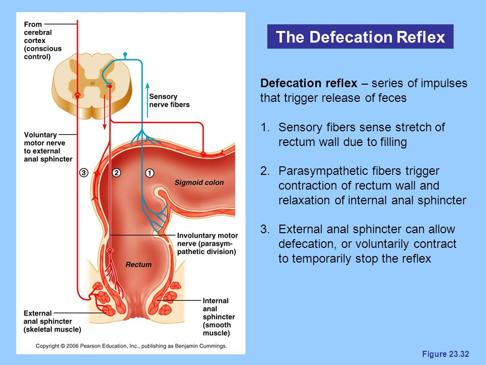 The Defecation Reflex Defecation reflex – series of impulses that trigger release of feces.