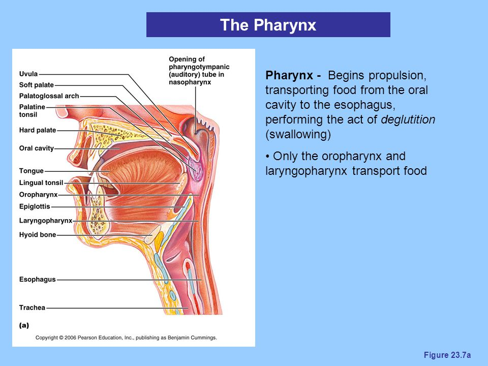 The Pharynx Pharynx - Begins propulsion, transporting food from the oral cavity to the esophagus, performing the act of deglutition (swallowing)