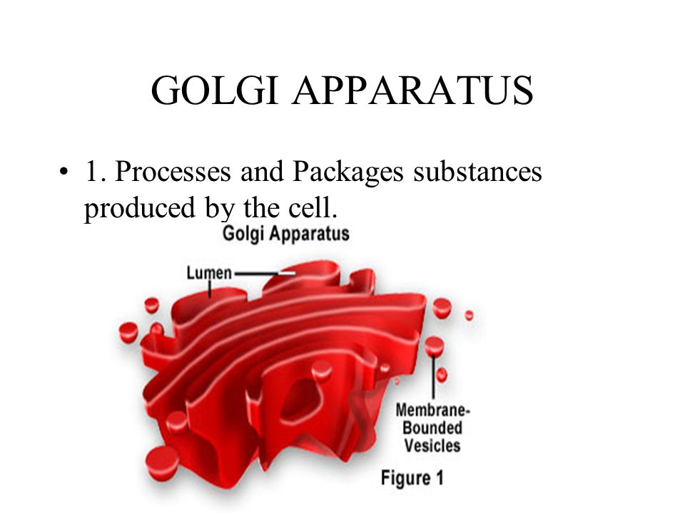 GOLGI APPARATUS 1. Processes and Packages substances produced by the cell.