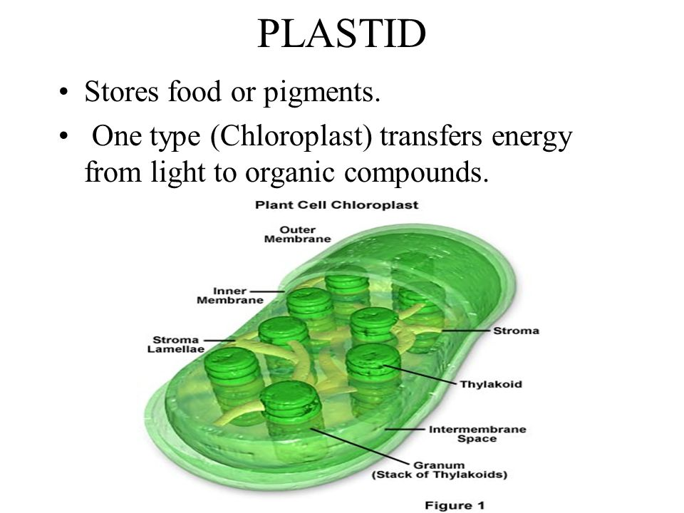 PLASTID Stores food or pigments.