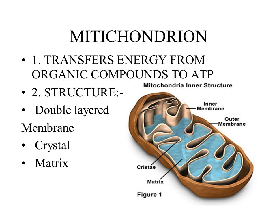 MITICHONDRION 1. TRANSFERS ENERGY FROM ORGANIC COMPOUNDS TO ATP