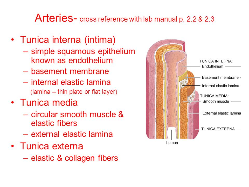 Arteries- cross reference with lab manual p. 2.2 & 2.3