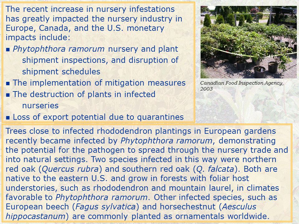 Phytophthora ramorum nursery and plant