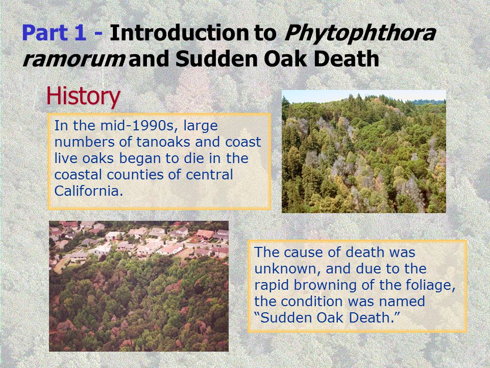 Part 1 - Introduction to Phytophthora ramorum and Sudden Oak Death