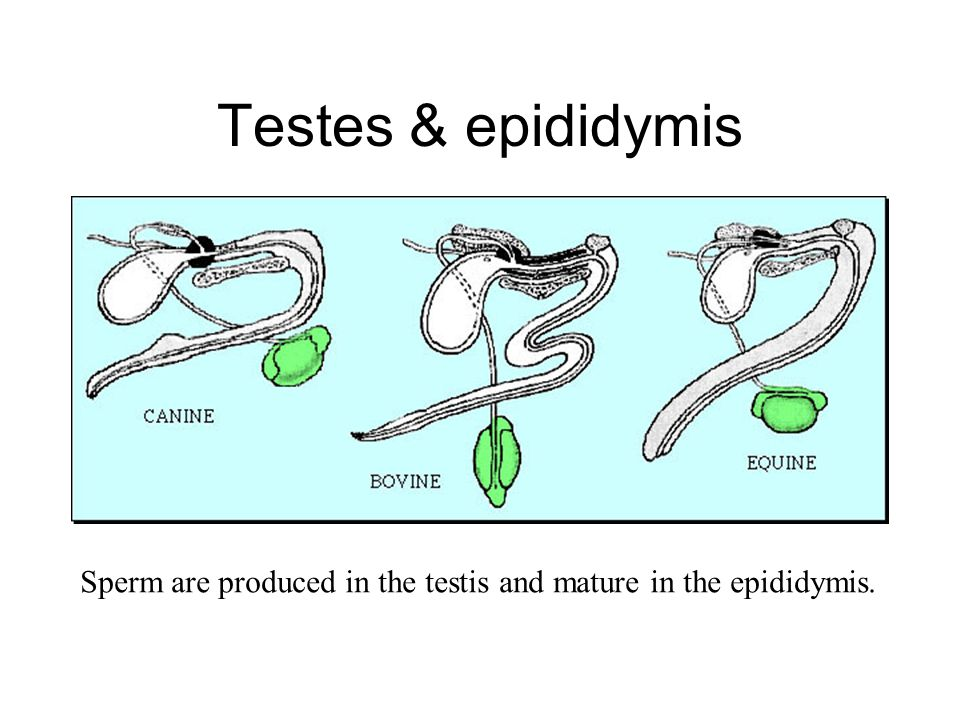 Testes & epididymis Sperm are produced in the testis and mature in the epididymis.