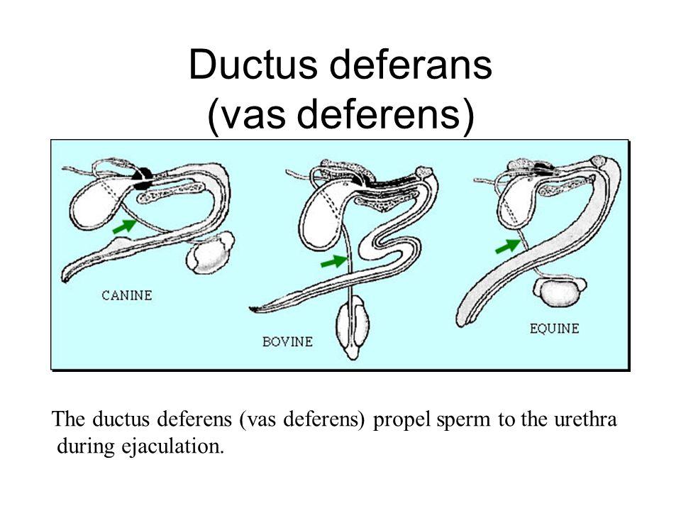 Ductus deferans (vas deferens)