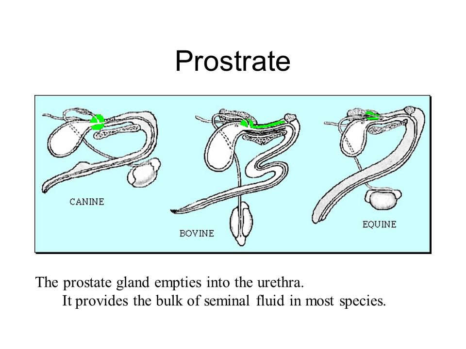 Prostrate The prostate gland empties into the urethra.