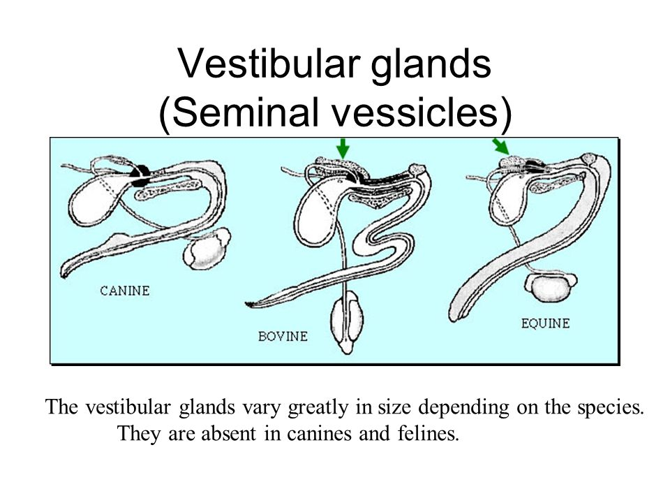 Vestibular glands (Seminal vessicles)