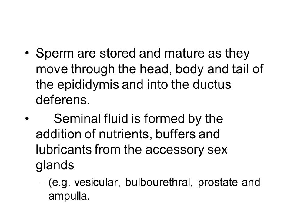 Sperm are stored and mature as they move through the head, body and tail of the epididymis and into the ductus deferens.