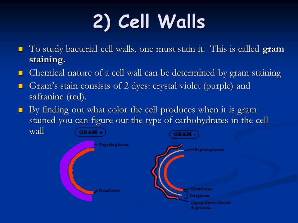 2) Cell Walls To study bacterial cell walls, one must stain it. This is called gram staining.