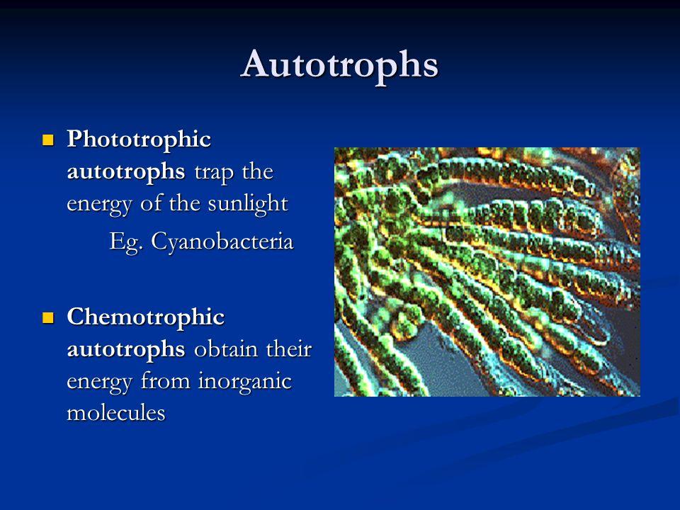 Autotrophs Phototrophic autotrophs trap the energy of the sunlight