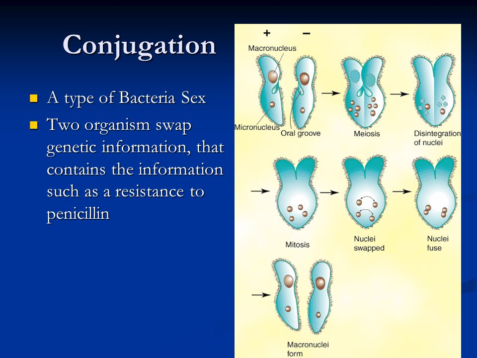 Conjugation A type of Bacteria Sex