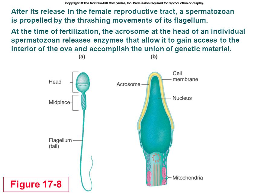 After its release in the female reproductive tract, a spermatozoan