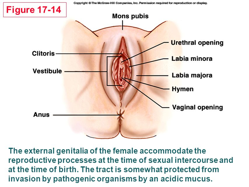 Figure 17-14 The external genitalia of the female accommodate the