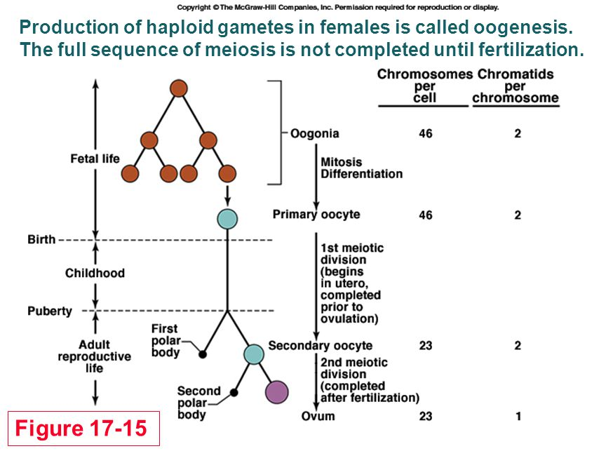 Production of haploid gametes in females is called oogenesis.