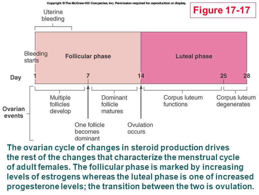 Figure 17-17 The ovarian cycle of changes in steroid production drives