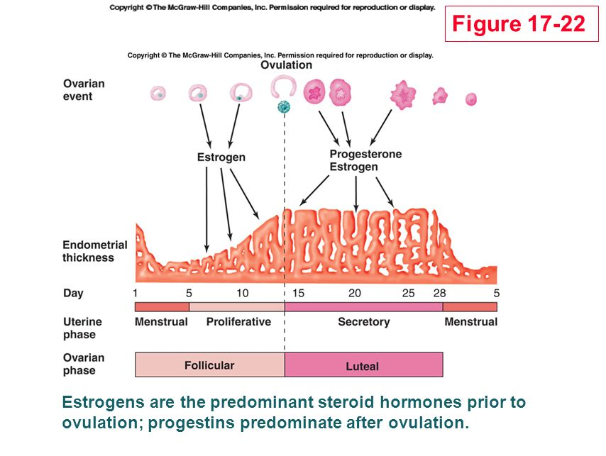 Figure 17-22 Estrogens are the predominant steroid hormones prior to