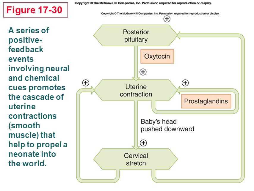 Figure 17-30 A series of positive-feedback events involving neural and chemical cues promotes the cascade of uterine contractions.