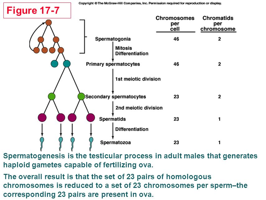 Figure 17-7 Spermatogenesis is the testicular process in adult males that generates haploid gametes capable of fertilizing ova.