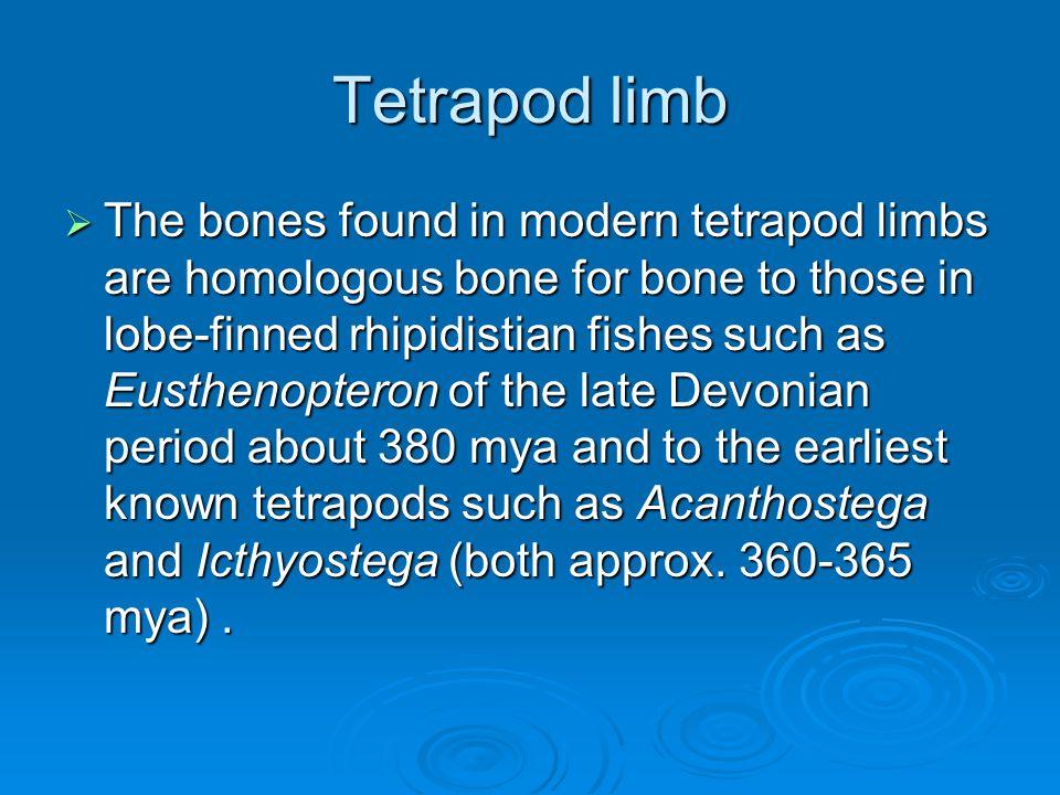 Tetrapod limb