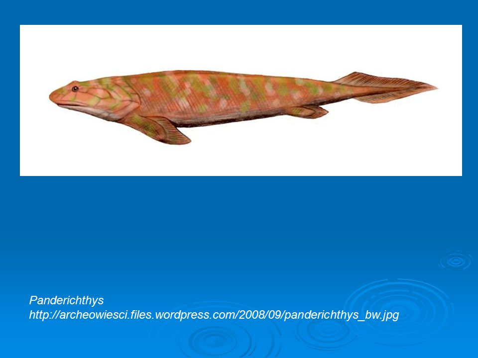 Panderichthys http://archeowiesci.files.wordpress.com/2008/09/panderichthys_bw.jpg