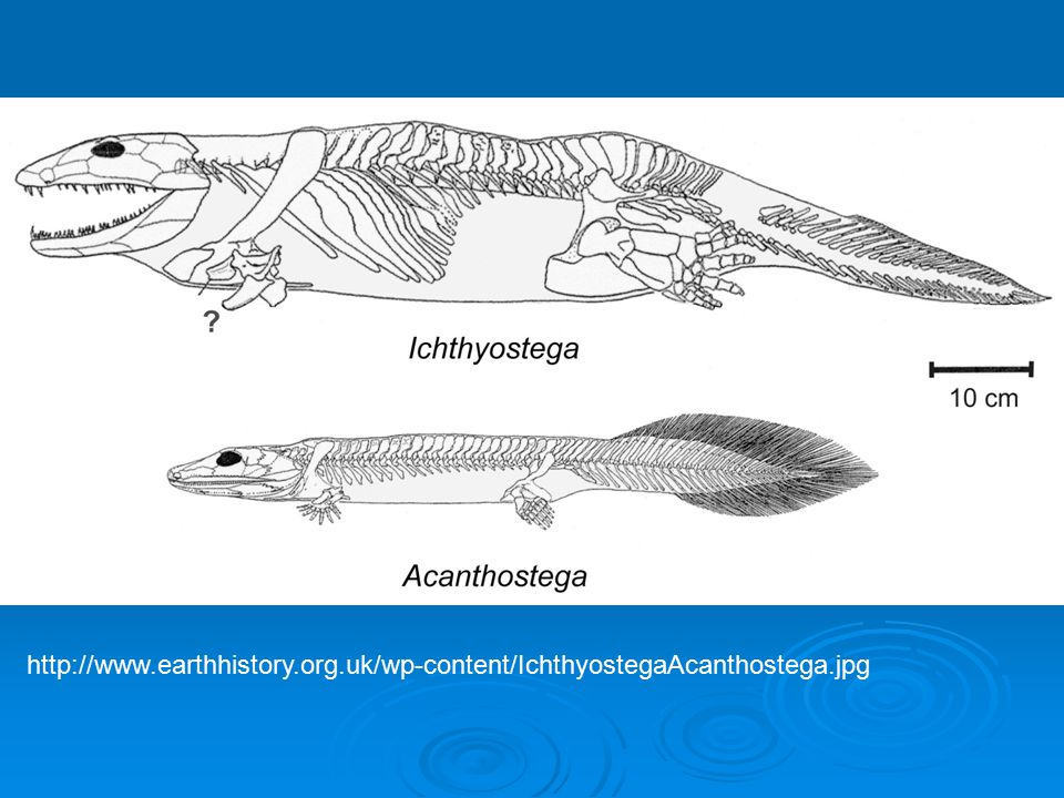 http://www. earthhistory. org. uk/wp-content/IchthyostegaAcanthostega