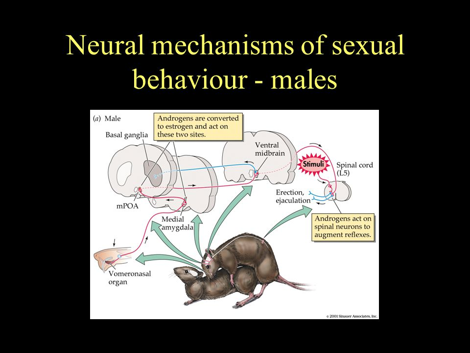 Neural mechanisms of sexual behaviour - males