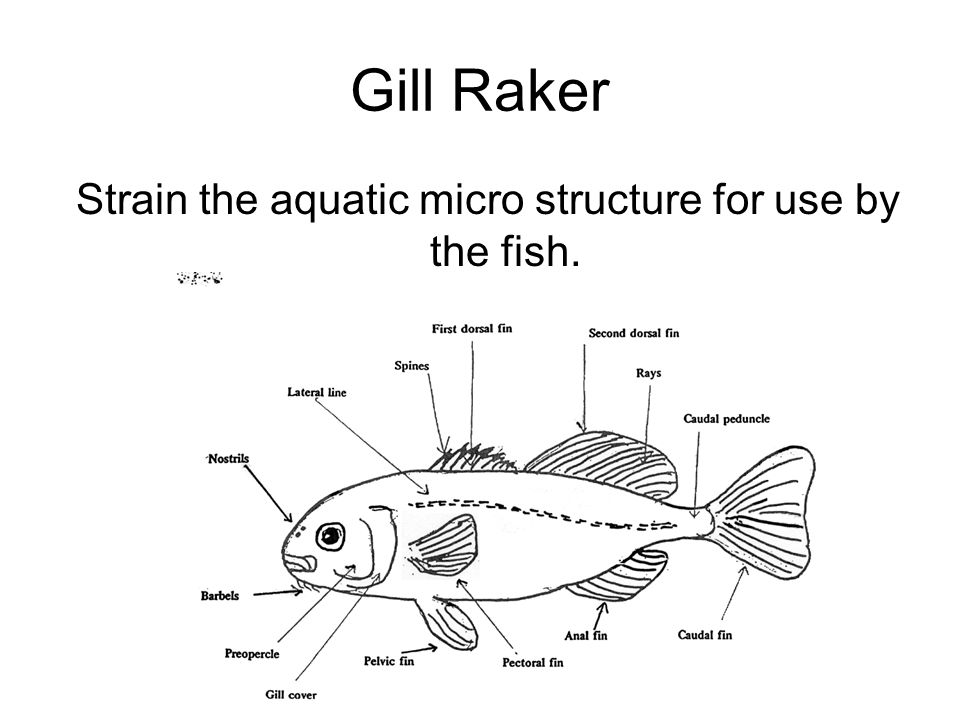 Strain the aquatic micro structure for use by the fish.