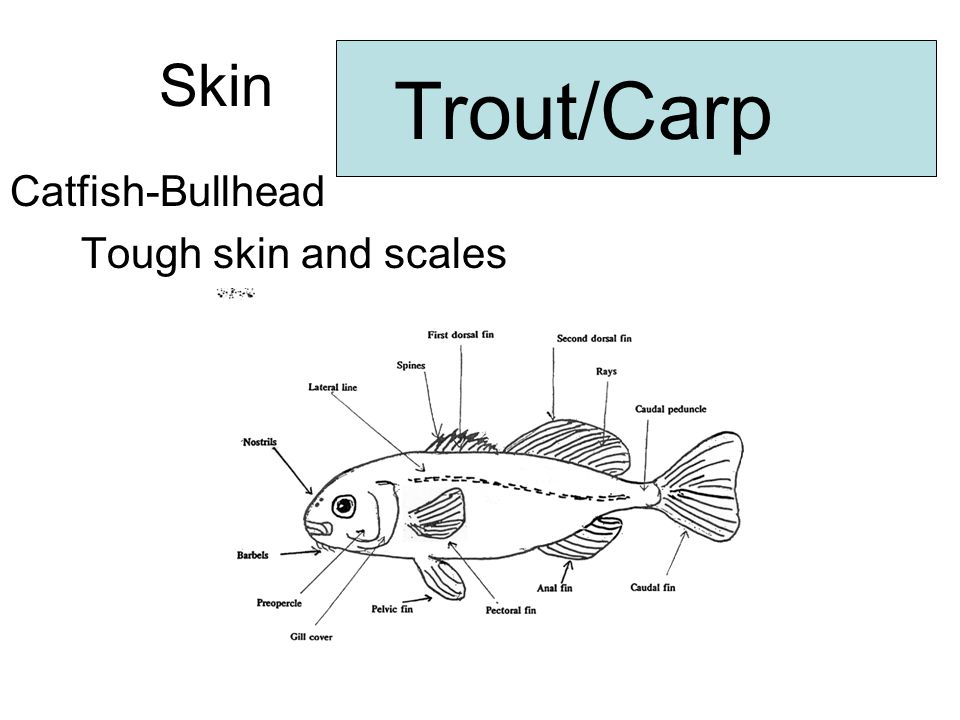 Skin Trout/Carp Catfish-Bullhead Tough skin and scales