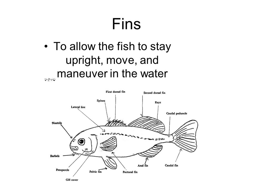 To allow the fish to stay upright, move, and maneuver in the water