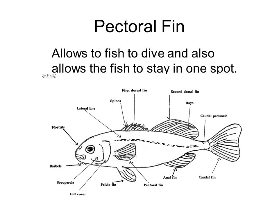 Pectoral Fin Allows to fish to dive and also allows the fish to stay in one spot.