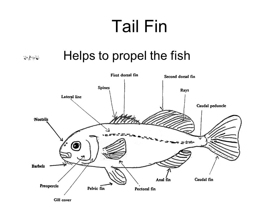 Tail Fin Helps to propel the fish
